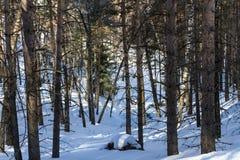 Forêt en hiver dans les montagnes photos stock