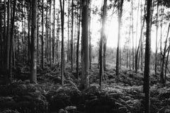 Forêt en noir et blanc Photos stock