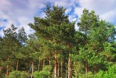 Forêt en Pologne Photographie stock libre de droits