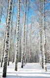 Forêt ensoleillée de bouleau sur le ciel bleu Photographie stock