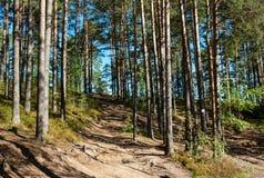 Forêt ensoleillée de pin image stock