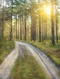 Forêt ensoleillée de pin Photos libres de droits