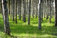 Forêt ensoleillée de pin Photo libre de droits