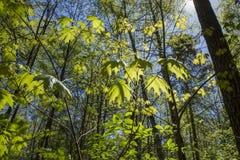 Forêt ensoleillée de ressort Photos stock