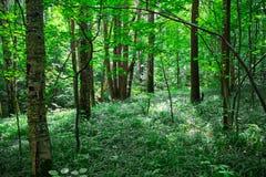 Forêt ensoleillée verte Images libres de droits