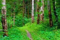 Forêt et sentier piéton verts d'été image libre de droits