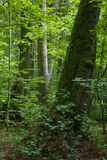 Forêt européenne avec l'arbre de tilleul dans le plan Image libre de droits