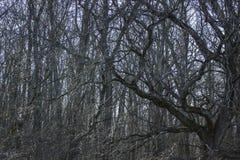 Forêt fabuleuse d'une branche de chêne puissant sur le fond d'autres arbres photographie stock libre de droits