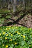 Forêt fleurissante de Ficaria de fausses renoncule au printemps Image stock