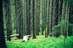 Forêt foncée avec beaucoup d'arbres et herbe image stock