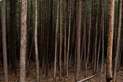 Forêt foncée d'arbres grands Images stock