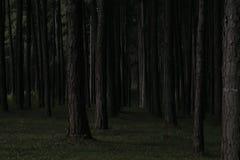 Forêt foncée de pin dans Chiang Mai Thaïlande Photos stock