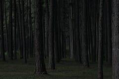 Forêt foncée de pin dans Chiang Mai Thaïlande Image stock