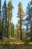 Forêt géante dans les rayons du coucher de soleil, parc national de séquoia, Tulare County, la Californie, Etats-Unis Image stock