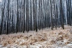 Forêt givrée Photographie stock libre de droits