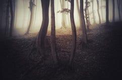 Forêt hantée avec le brouillard mystérieux Photographie stock libre de droits