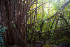 Forêt humide hawaïenne image libre de droits