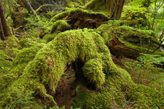 Forêt humide tempérée Image stock