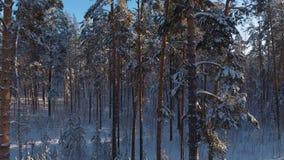 Forêt impeccable d'hiver, temps clair d'hiver : troncs minces des pins clips vidéos