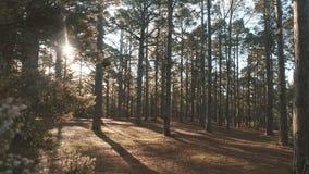 Forêt impeccable de pin dans la belle lumière de matin Les rayons de soleil traversent des branches banque de vidéos