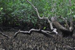 Forêt intérieure de palétuvier Photos libres de droits