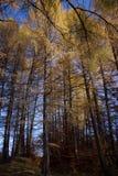 Forêt jaune Images libres de droits