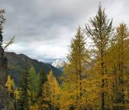 Forêt jaune d'arbre de mélèze dans les montagnes Photo stock