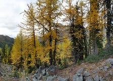 Forêt jaune d'arbre de mélèze dans les montagnes Image libre de droits