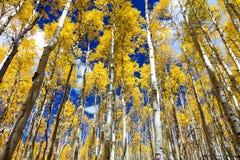 Forêt jaune d'or d'arbres de tremble de chute dans une Co noire et blanche image stock