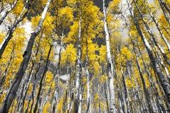 Forêt jaune d'or d'arbres de tremble de chute dans une Co noire et blanche photo libre de droits