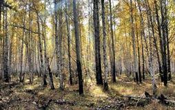 Forêt jaune lumineuse de bouleau d'automne en octobre Photographie stock libre de droits
