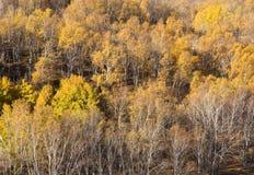 Forêt jaune sur la pente dans le coucher du soleil Photos stock