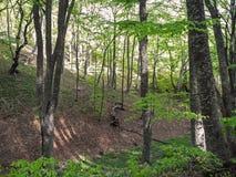 Forêt lumineuse de ressort sur la pente de montagne Montagnes criméennes image stock