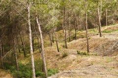 Forêt méditerranéenne de pin Photos libres de droits