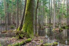 Forêt mélangée humide de printemps avec de l'eau debout photo stock