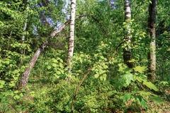 Forêt mélangée, mayday ensoleillé La Russie Photos stock