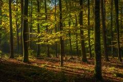 Forêt mûre de hêtre en Allemagne Photo libre de droits