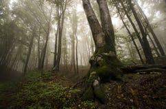 Forêt magique avec le brouillard Photo stock