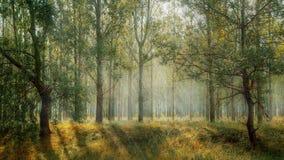 Forêt magique de rayons Images libres de droits