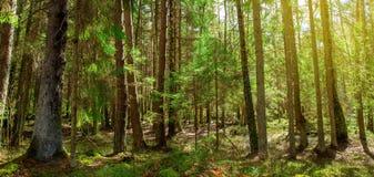 Forêt magique de ressort avec des rayons du soleil Photographie stock libre de droits