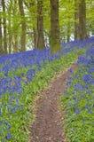 Forêt magique et fleurs sauvages de jacinthe des bois Photographie stock