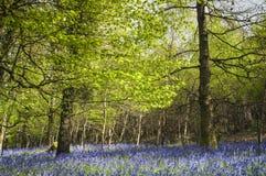 Forêt magique et fleurs sauvages de jacinthe des bois Photo libre de droits