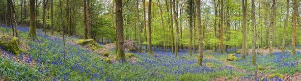 Forêt magique et fleurs sauvages de jacinthe des bois Image libre de droits