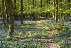 Forêt magique et fleurs sauvages de jacinthe des bois Photo stock