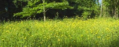 Forêt magique et fleurs sauvages de renoncule Photographie stock libre de droits