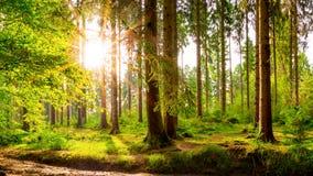 Forêt merveilleuse à la lumière du soleil lumineuse photo libre de droits