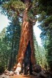 Forêt morte de séquoia après le feu de forêt au parc national de Yosemite photos stock