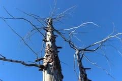Forêt morte, volcan de Tolbachik Image stock