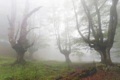 Forêt mystérieuse dans un matin très brumeux Images libres de droits