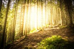 Forêt mystique dans les rayons de la lumière du soleil Images libres de droits